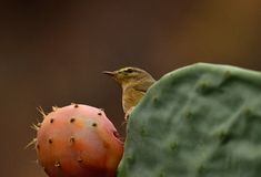 Phylloscopus bird on cactus Stock Photos
