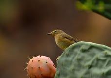 Phylloscopus bird on cactus Stock Photography