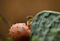 Phylloscopus bird on cactus Stock Image