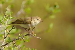 Phylloscopus bonelli - Western Bonelli`s Warbler.  Stock Photo