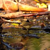 Phylloscopus canariensis on natural water puddle Royalty Free Stock Photo