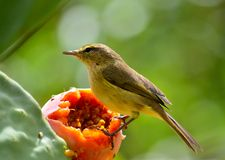 Phylloscopus canariensis on prickly pear Royalty Free Stock Photo