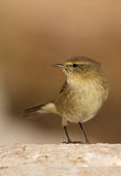 Phylloscopus collybita chiffchaff. On a stone watching Royalty Free Stock Image