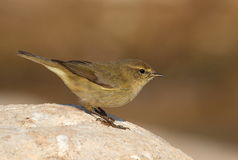 Phylloscopus collybita chiffchaff. On a stone watching. Side face Stock Photos