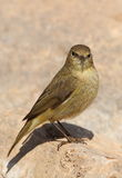 Phylloscopus collybita chiffchaff Royalty Free Stock Photo