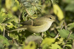 Phylloscopus collybita / chiffchaff. In natural habitat Royalty Free Stock Image