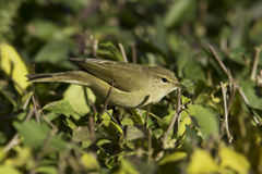 Phylloscopus collybita / chiffchaff Stock Photography