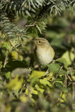 Phylloscopus collybita / chiffchaff Royalty Free Stock Photos