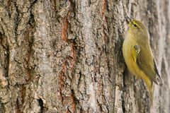 Phylloscopus collybita. Common Chiffchaff or Phylloscopus collybita on a tree with copy space for text Stock Photo