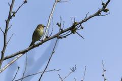 Phylloscopus collybita Vogel auf Baum Stockbilder