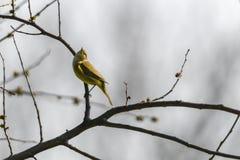 Phylloscopus collybita Vogel auf Baum Lizenzfreies Stockbild