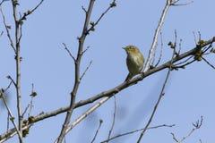Phylloscopus collybita Vogel auf Baum Stockbild