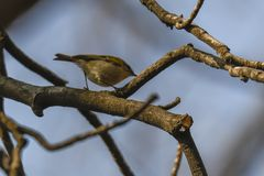 Phylloscopus collybita Vogel auf Baum Stockfotos