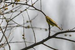 Phylloscopus collybita Vogel auf Baum Stockfoto