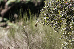 Phylloscopus trochilus polowanie i latanie obraz stock