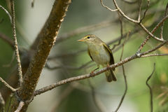 Phylloscopus trochilus. Or Willow Warbler on a branch Stock Image