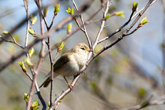 Phylloscopus trochilus, Willow Warbler Royalty Free Stock Image