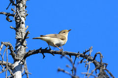 Phylloscopus trochilus, Willow Warbler Stock Photography