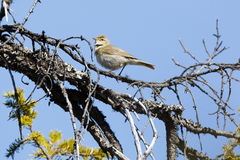 Phylloscopus trochilus, Willow Warbler Stock Images