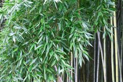 Phyllostachys, bamboo. Royalty Free Stock Photography