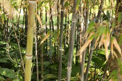 Free Phyllostachys Nigra, Black Bamboo In The Garden Royalty Free Stock Images - 116300389