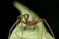 Phylodromidae Sp męski pająk pozuje na zielonym liścia portrecie fotografia stock
