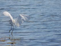 Land of the little egret just before touching the water stock images