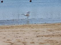 The race of egret garzette royalty free stock photo