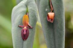 Phymatoidea X Teaguei, soort zeldzame orchidee stock foto
