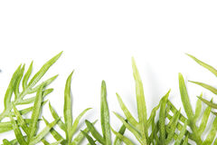 Phymatosorus grossus, Green leaves fern isolated. On white background with copy space for text Stock Images