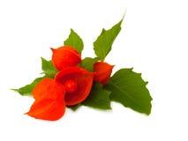 physalis плодоовощ ягоды Стоковое Фото