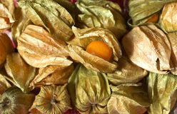 Physalis. Fruits, one revealed from its husk royalty free stock photos