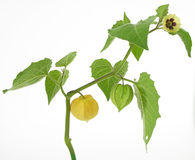 Free Physalis Royalty Free Stock Photography - 19312827