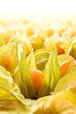 Physalis. Large group of physalis also known as winter cherries, cape gooseberries, ground cherries, love in cage or chinese lantern. Focus on the fruit in the royalty free stock photo