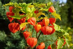 Physalis. Stock Photography