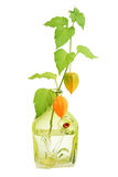 Physalis. Images stock