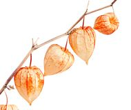 Physalis alkekengi. Stock Photos