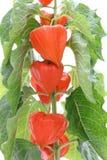 Physalis alkekengi. Close up view to bright orange chinese lanterns Royalty Free Stock Image
