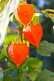 Physalis alkekengi  or Chinese lantern plants Royalty Free Stock Image