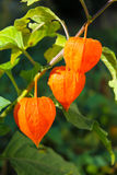 Physalis alkekengi  or Chinese lantern plants Royalty Free Stock Images