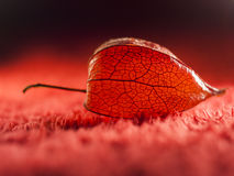 Physalis alkekengi - dried fruit abstract and beautiful filigree texture Stock Image