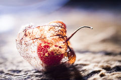 Physalis alkekengi - dried fruit abstract and filigree texture Royalty Free Stock Photo