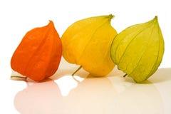 Physalis alkekengi fruit. Colorful husks of physalis alkekengi fruit reflecting on white background Royalty Free Stock Images