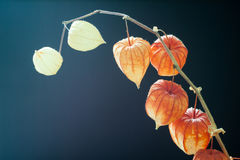 Physalis alkekengi. Royalty Free Stock Photo