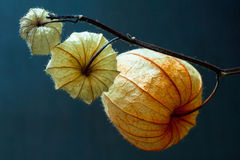 Physalis alkekengi. Royalty Free Stock Photography