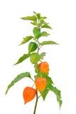 Physalis. Alkekengi plant isolated on white background Stock Image
