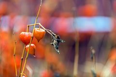 Mature fruits of physalis ordinary with orange red cups in the a. Physalis alkekengi, Solanaceae, dry lanterns of decorative red ground cherries of nightshade Stock Photography