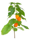 Physalis alkekengi Royalty Free Stock Image