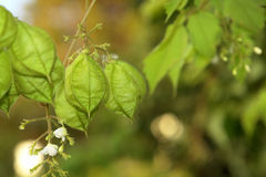 Physalis angulata. Close photos of Physalis angulata, most known as winter cherry Stock Photography
