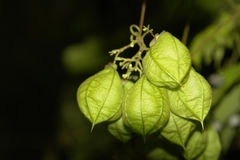 Physalis angulata. Close photos of Physalis angulata, most known as winter cherry Royalty Free Stock Image